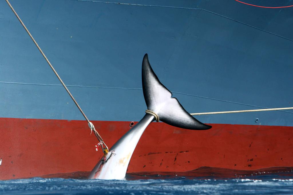 日本捕鲸到底为了什么? - 中国日报网