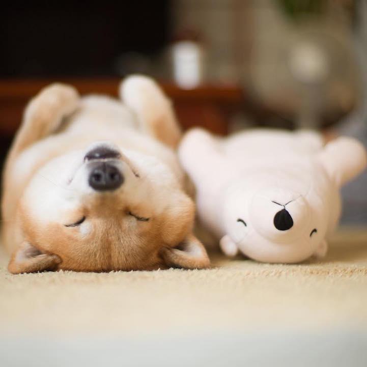 养动物的小伙伴们充分了解那些萌物能带给我们怎样的喜悦,日本一只名为Maru的柴犬在睡觉的时候总会让玩具北极熊陪它一起,从外观上,两个萌物就很相似两者都有着弯弯的一线天眼睛和黑色的大鼻子。而且它们睡觉的姿势还神同步,画面让人忍俊不禁。 哦,对了,这只萌犬在社交网站上有230万的粉丝!