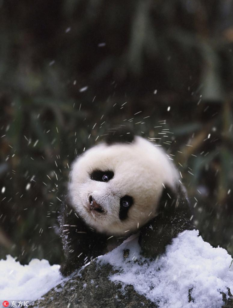 今天是国际熊猫节 你能抵住熊猫的呆萌诱惑吗?
