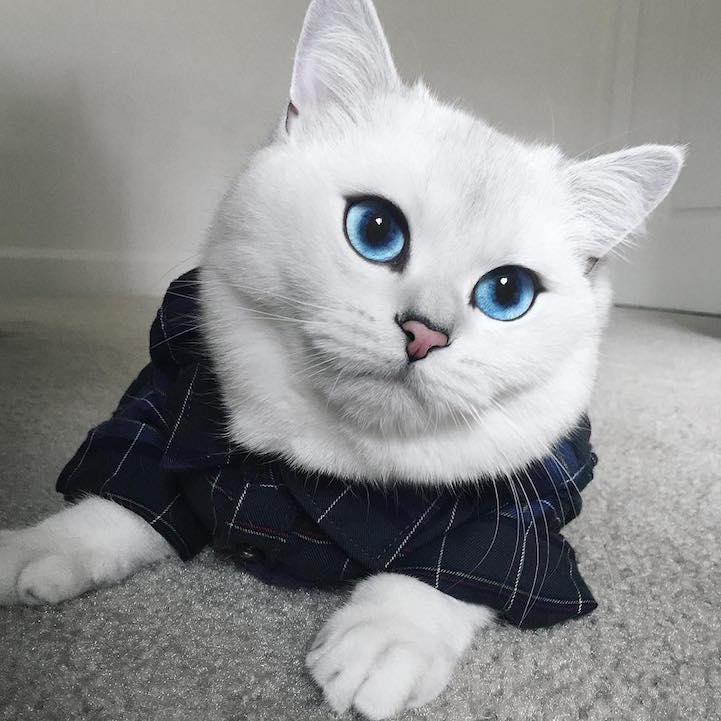最美猫咪:所有人都会迷上它的蓝眼睛